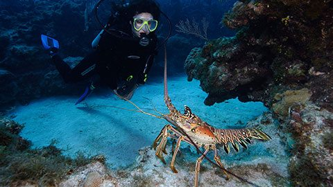 Dive into the Caribbean and lasso a lobster for a seafood feast on the beach