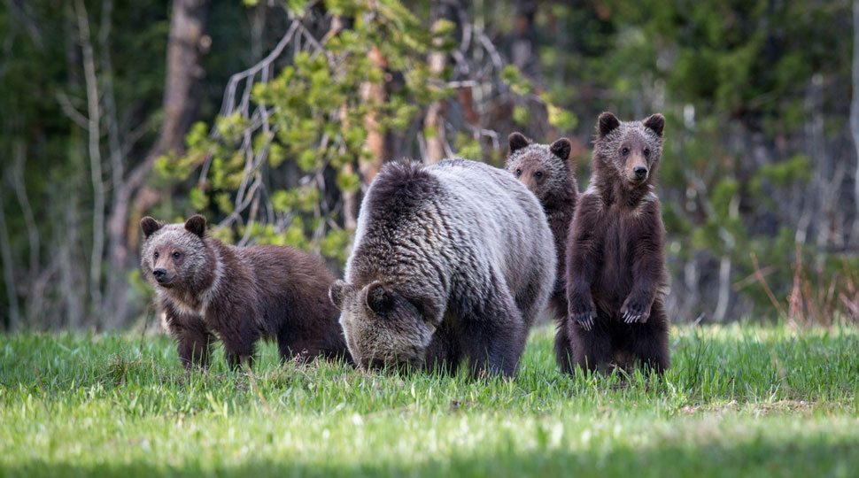 A mother bear and her cubs in Jackson Hole, Wyoming