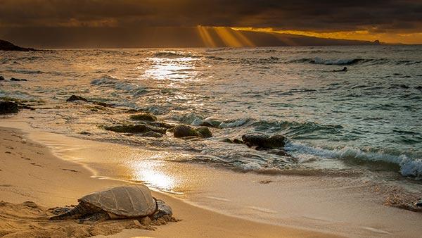 Sea Turtles at Four Seasons Maui at Wailea
