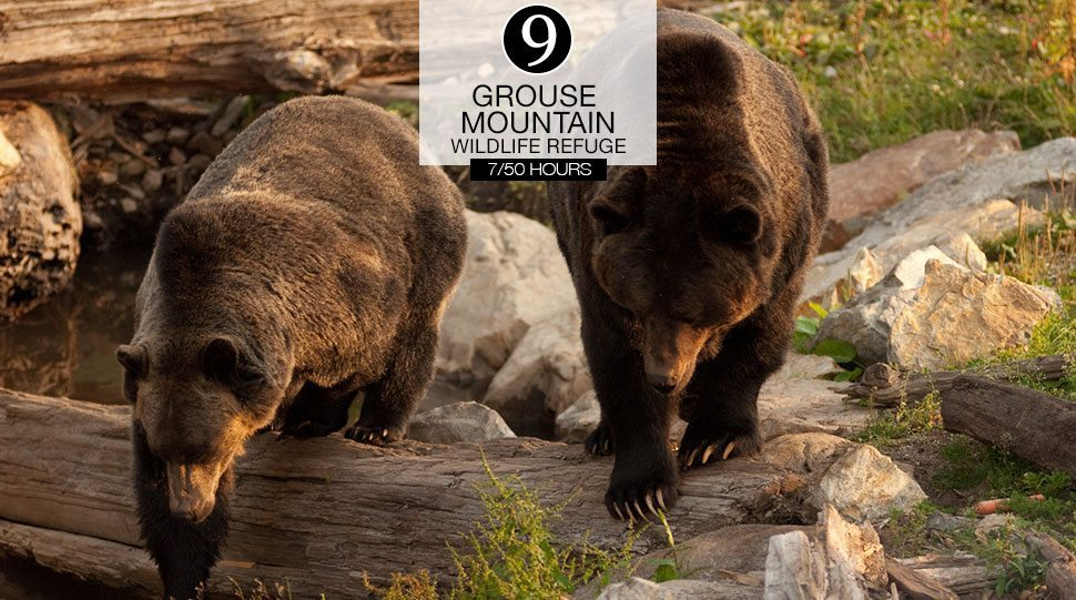Two Grizzly Bears at the Vancouver Grouse Mountain Wildlife Refuge.