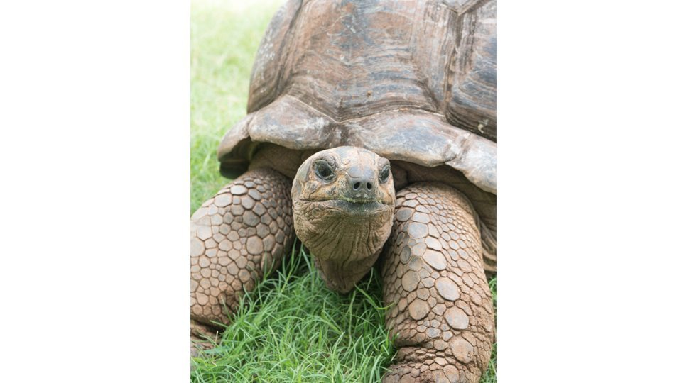 A resident tortoise at the Four Seasons Mauritius.