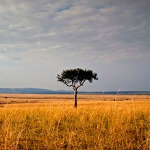Tree in the Serengeti, Africa