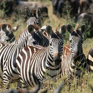 Zebras in the Serengeti resting—Africa