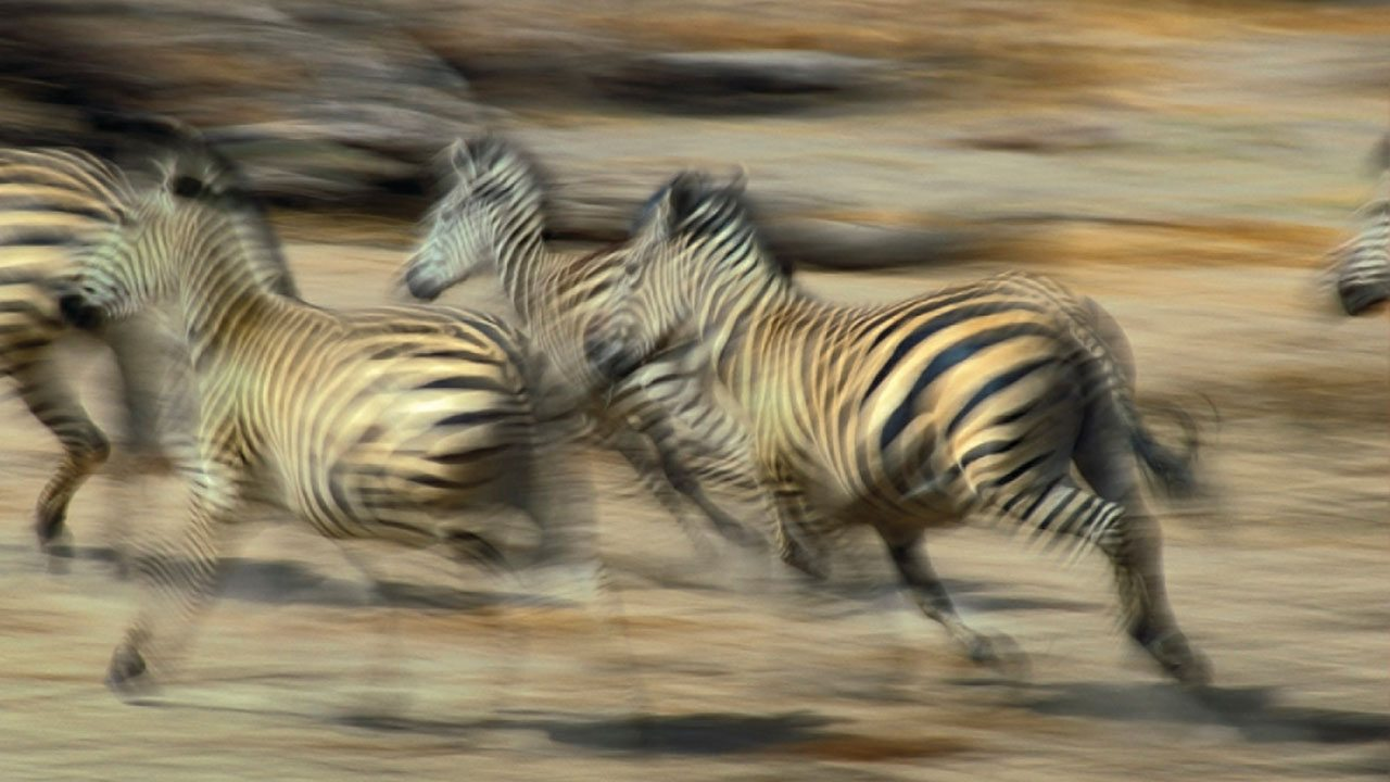 Zebras running through the Serengeti, Africa