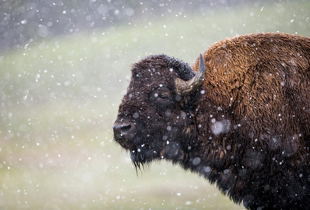 Bison at Jackson Hole