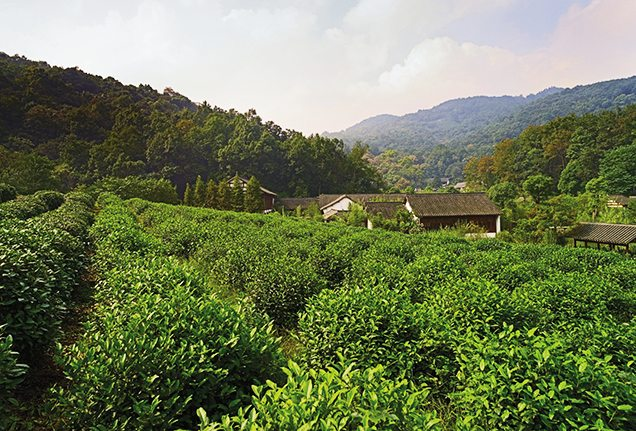 Longjing tea field in Zhejian Provice in China