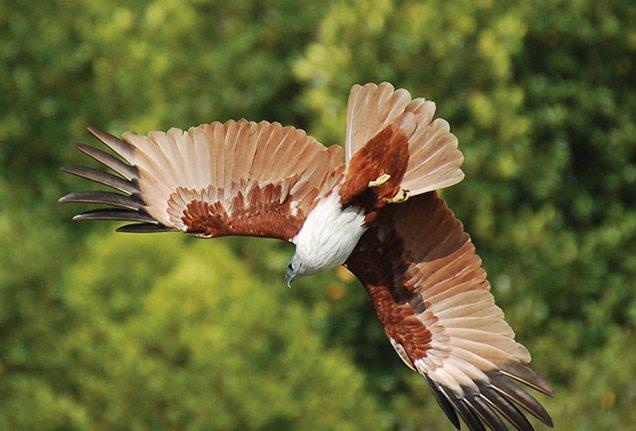 Flying Brahminy Kite in Langkawi