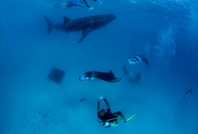 Diving with sharks and manta rays on Four Seasons Explorer
