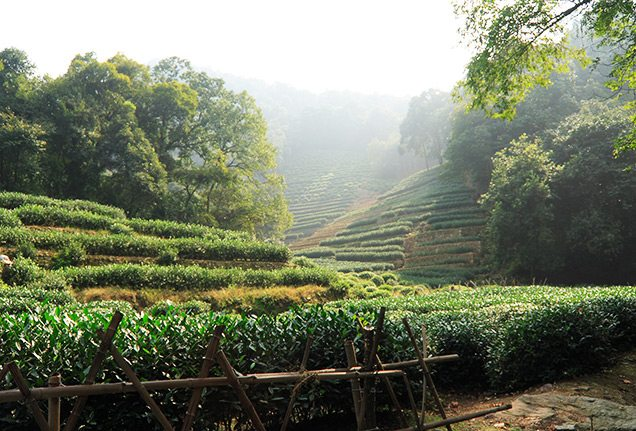 Longjing tea picking tour in Hangzhou