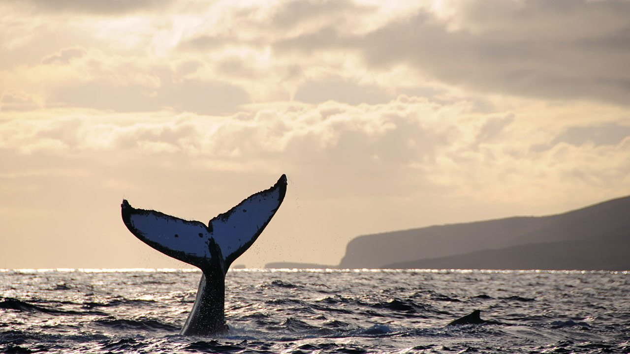 Whale Watching – Best Things to Do in Lanai