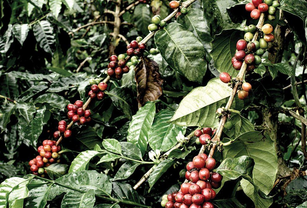 Bogotá coffee plant