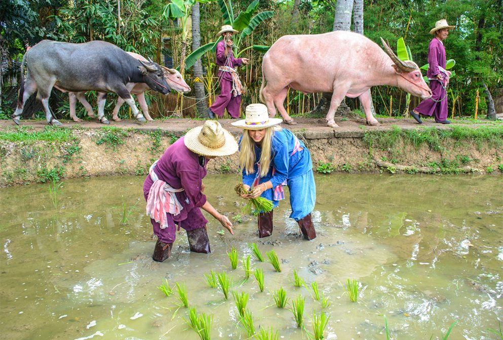 Rice farming in Chiang Mai