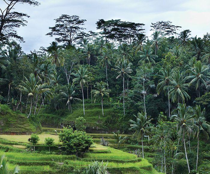 Rice terraces at Tegallalang, Ubud, Bali
