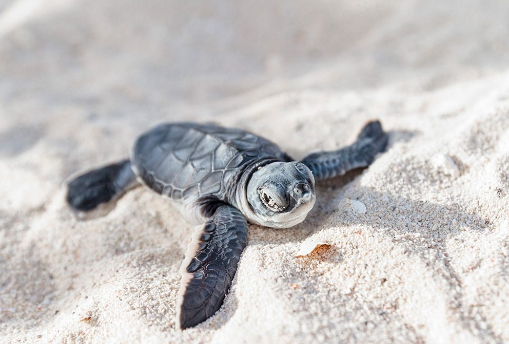baby sea turtle in Nevis