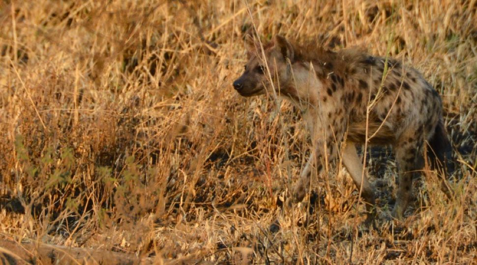 Hyena in the Serengeti