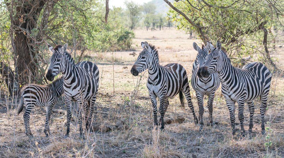 Zebras near the Four Seasons Serengeti