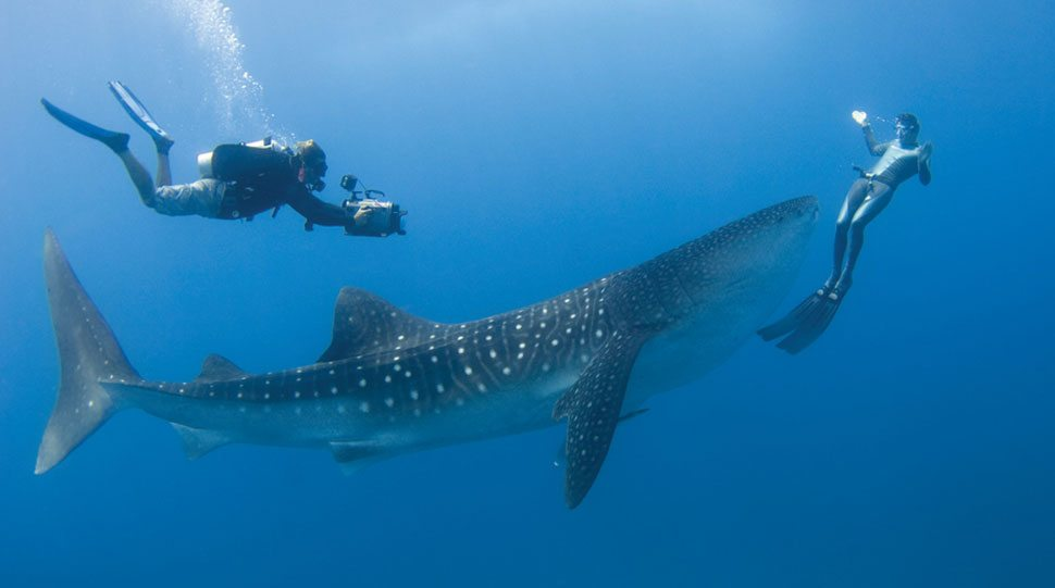 Divers swim alongside a whale shark in the waters of the Maldives