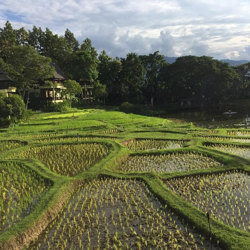 Change Mai rice fields