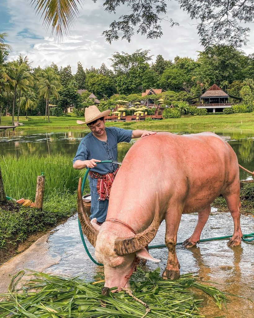 Man in a straw hat cleans a water buffalo