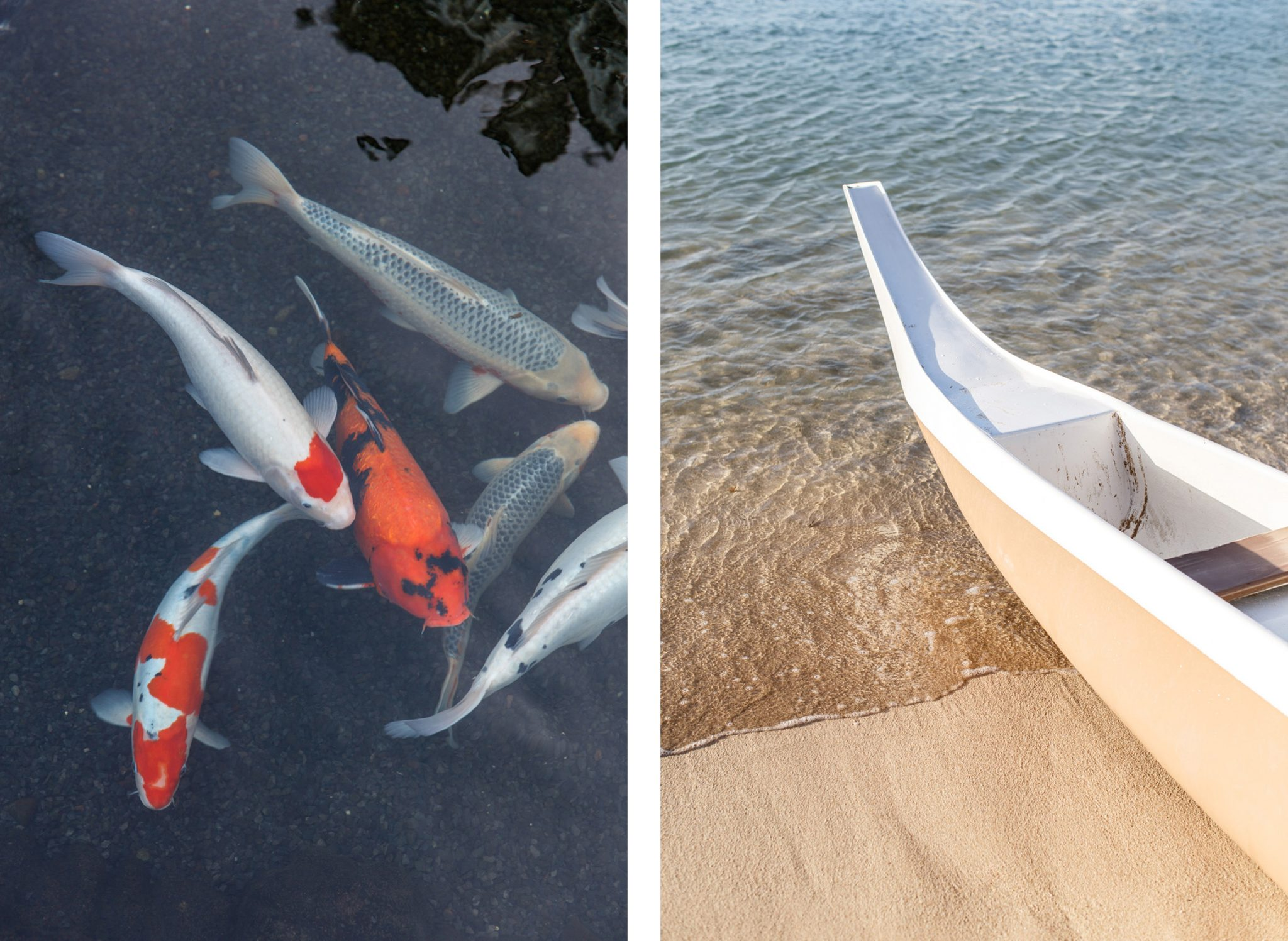 Oahu koi fish, white gondola comparison