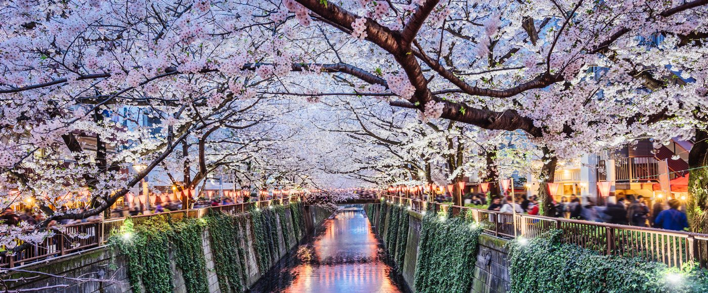 Blooming cherry blossom trees along the Meguro Canal in Tokyo.