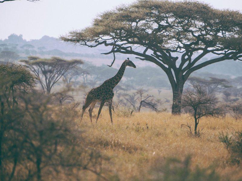 Safari Giraffe Hero Ee