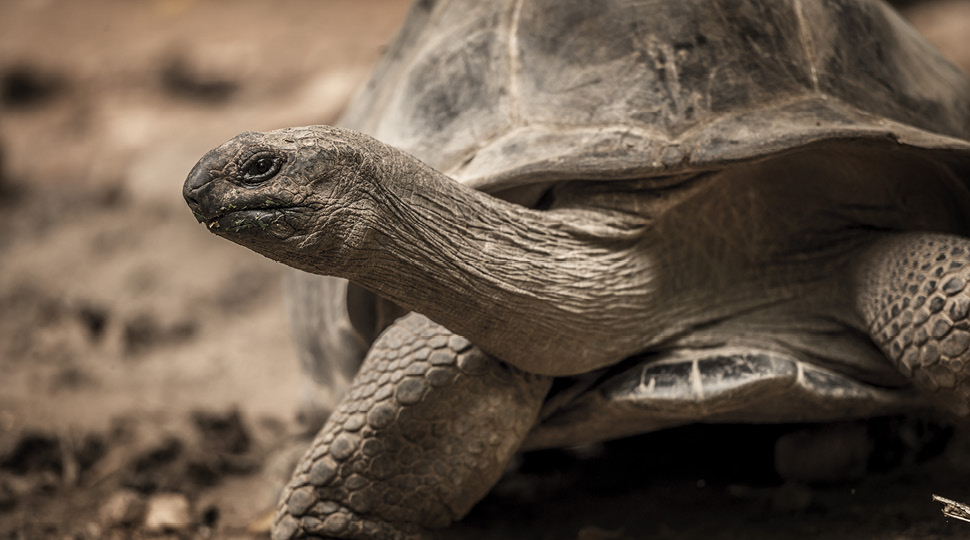 Close up of a Giant Tortoise