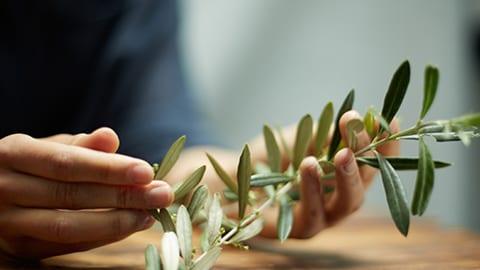 Explore olive vines