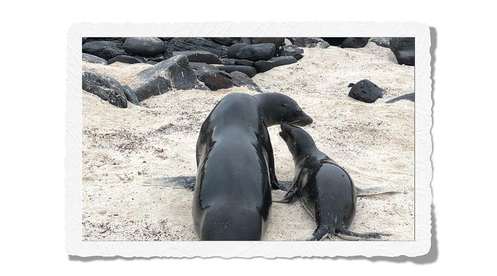 Galápagos seals