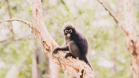 Dust Leaf Monkey