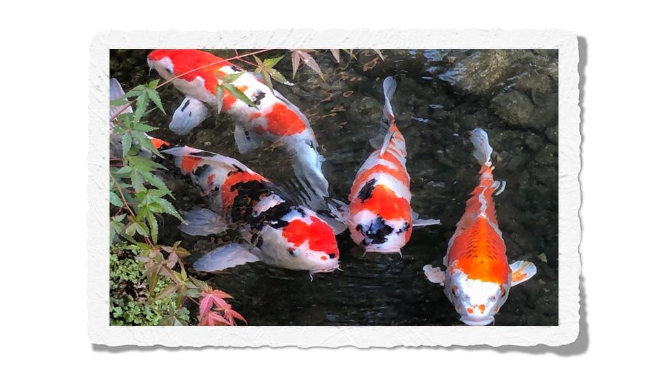 Koi fish Kyoto
