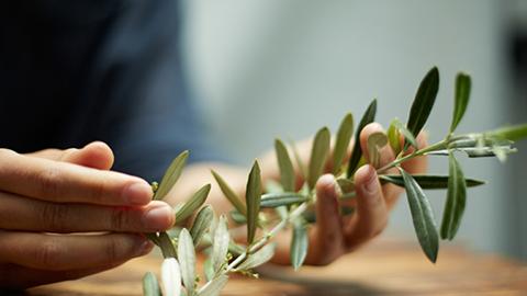 Olive vine